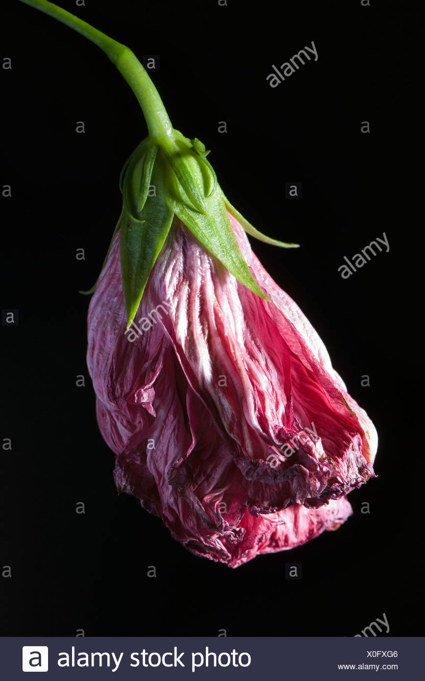 Wilted flower - Stock Image