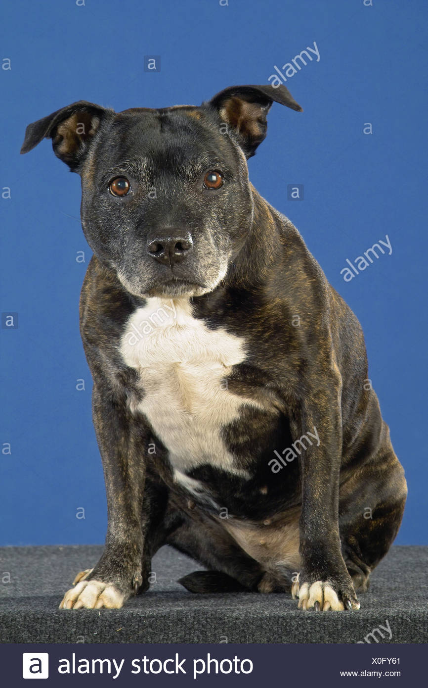 Staffordshire Bullterrier - sitting - cut out - Stock Image