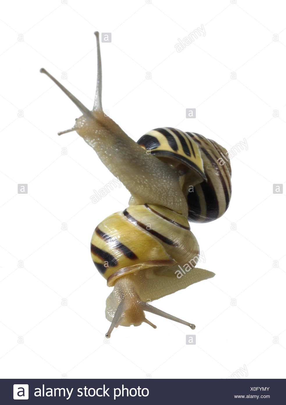studio photography of two grove snails on each other in white back Stock Photo