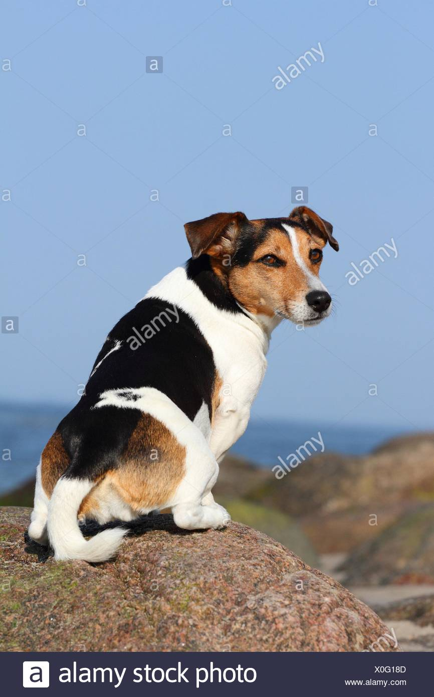 Rear View Jack Russell Terrier Stock Photos & Rear View Jack Russell ...