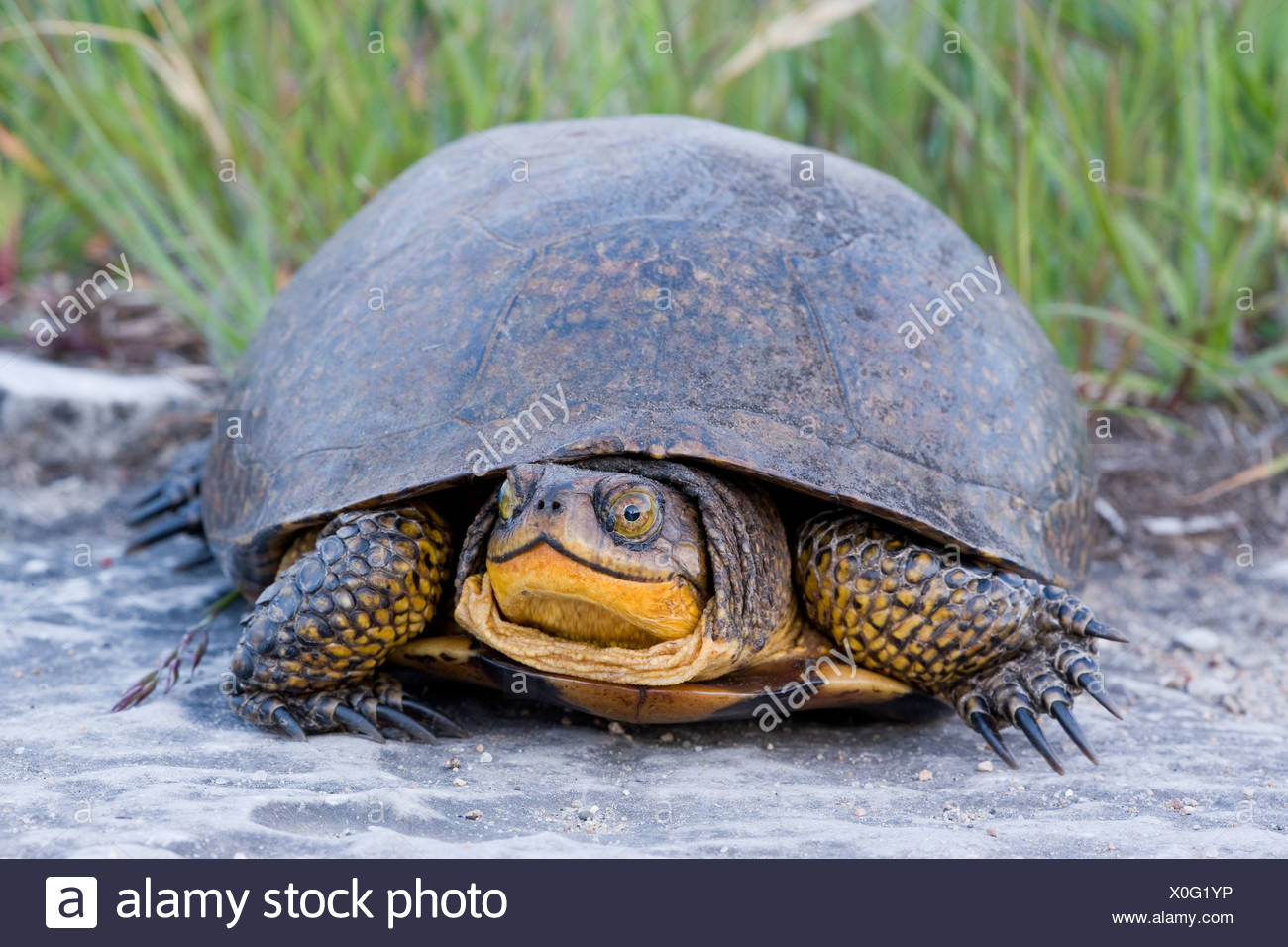 Blanding's Turtle (Emydoidea blandingii) (Endangered in Nova Scotia; Threatened in Great Lakes/St. Lawrence) Misery Bay Provinci - Stock Image