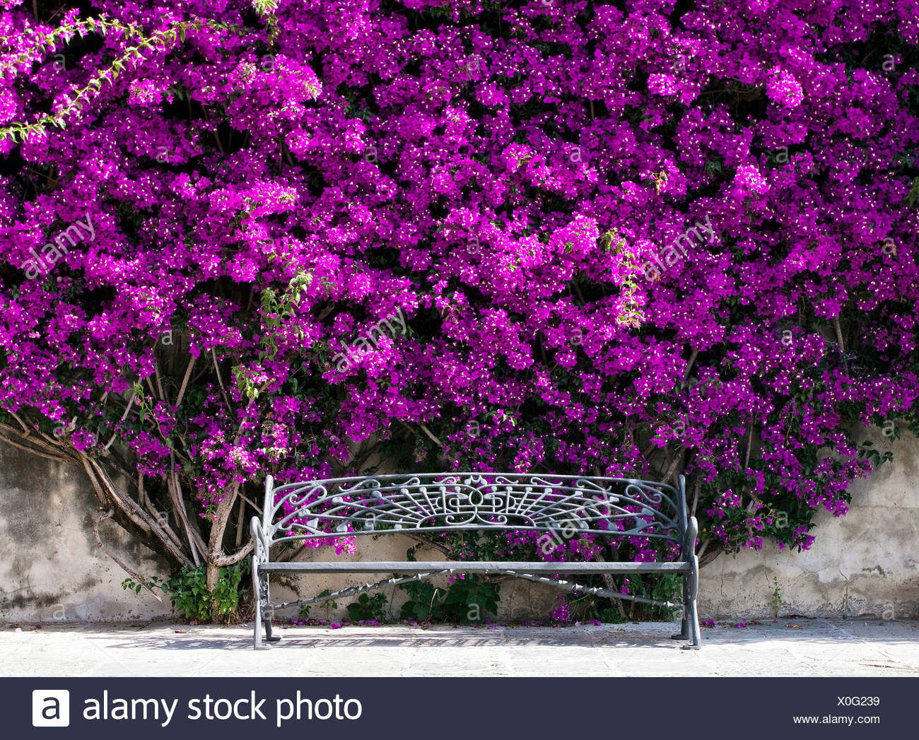 Bench under a bush of Bougainville (Bougainvillea) - Stock Image