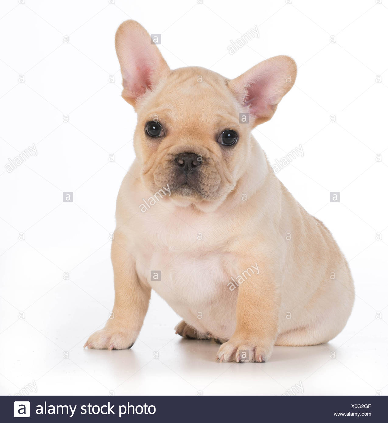 Cute Puppy French Bulldog Puppy Sitting Looking At Viewer 7
