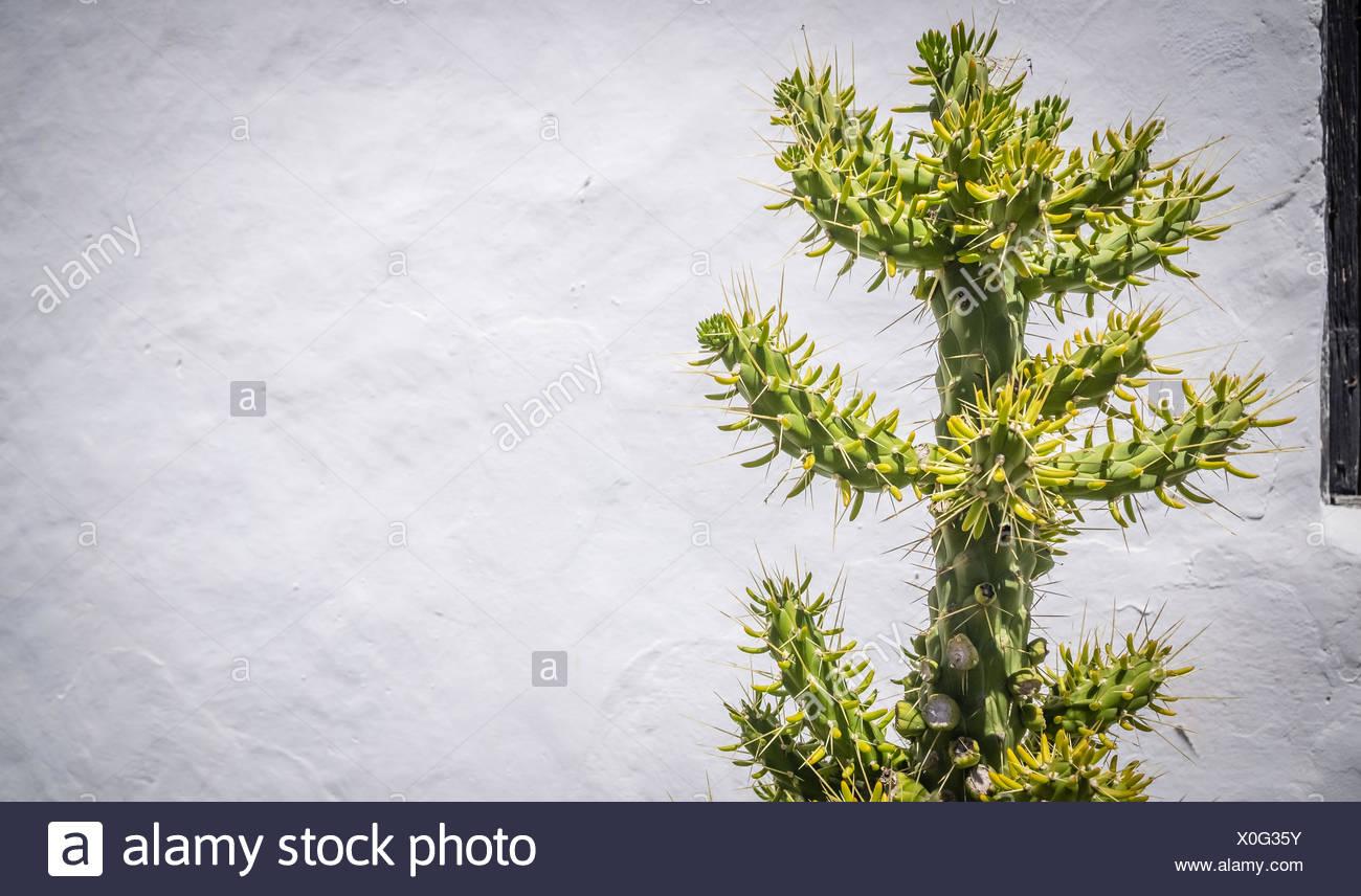 Large tree - like cactus - Stock Image