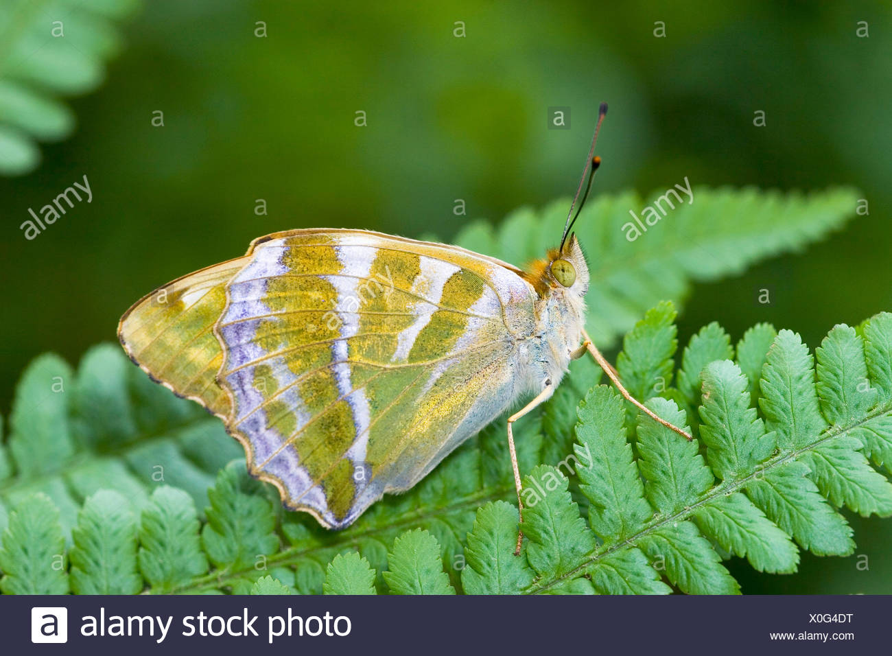 silver-washed fritillary (Argynnis paphia), on a leaf, Germany - Stock Image