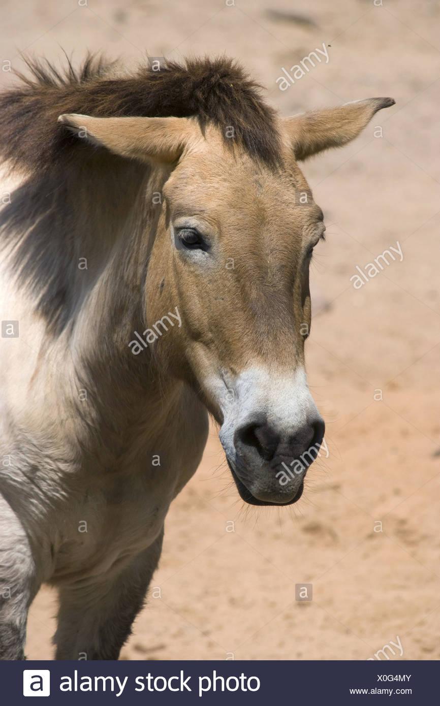 przewalski's horse, equus ferus przewalskii - Stock Image