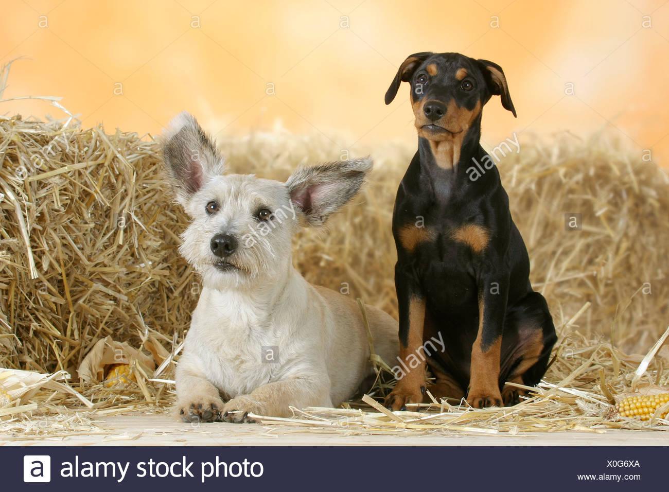 German Pinscher Puppy 10 Weeks And Mixed Breed Dog Deutscher