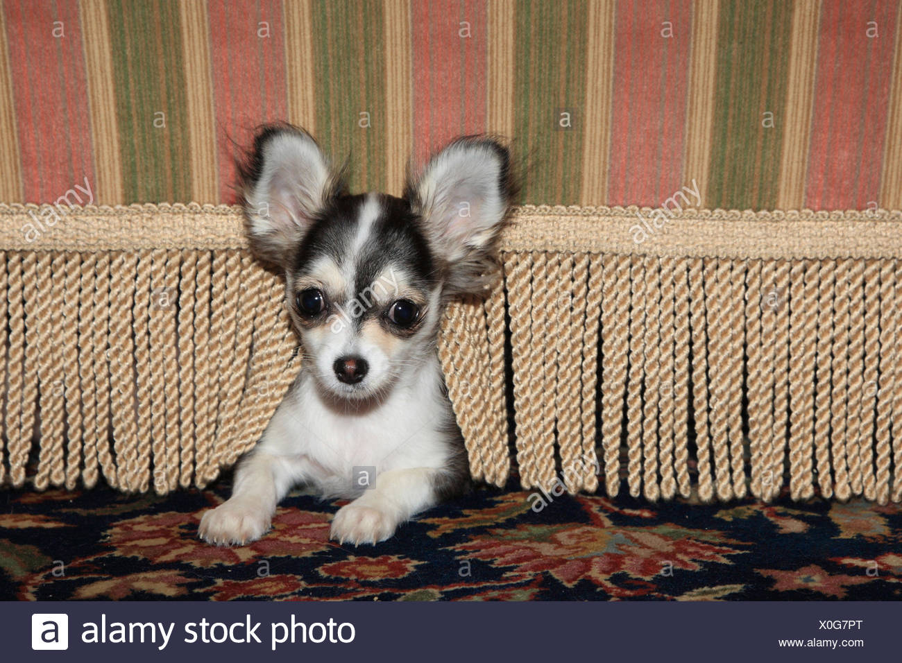 Chihuahua, young animal looks under armchair out, - Stock Image