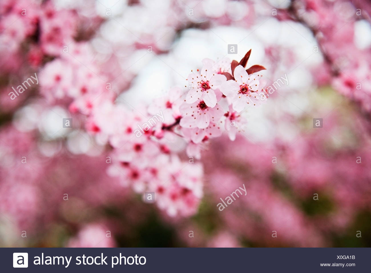 Portland oregon united states of america blossoms on the trees in portland oregon united states of america blossoms on the trees in spring in westmorland park mightylinksfo