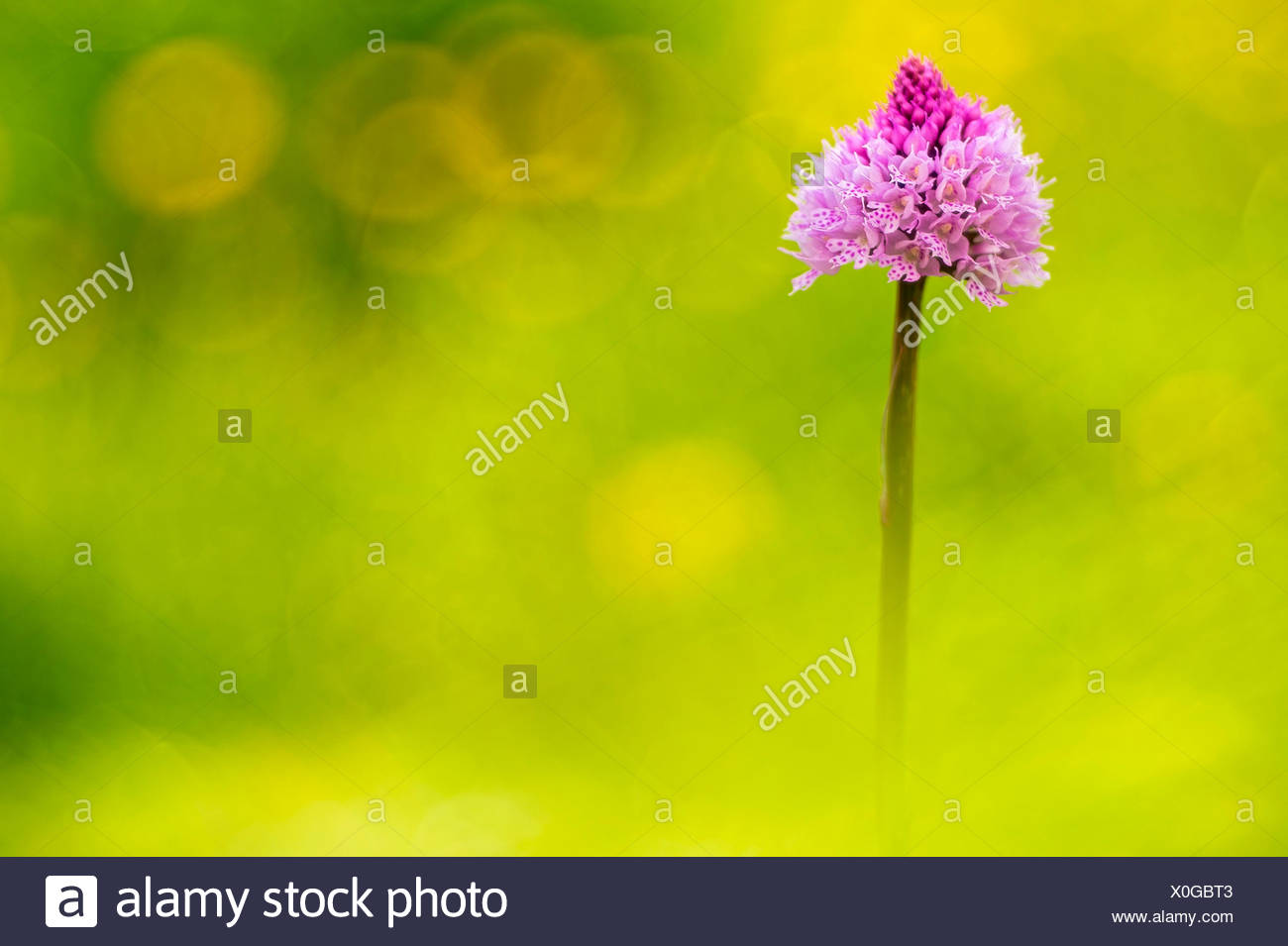 Gaver,Bagolino,Lombardy,Kenya An orchid spontaneous recovery Traunsteinera globular to flat gaver - Stock Image