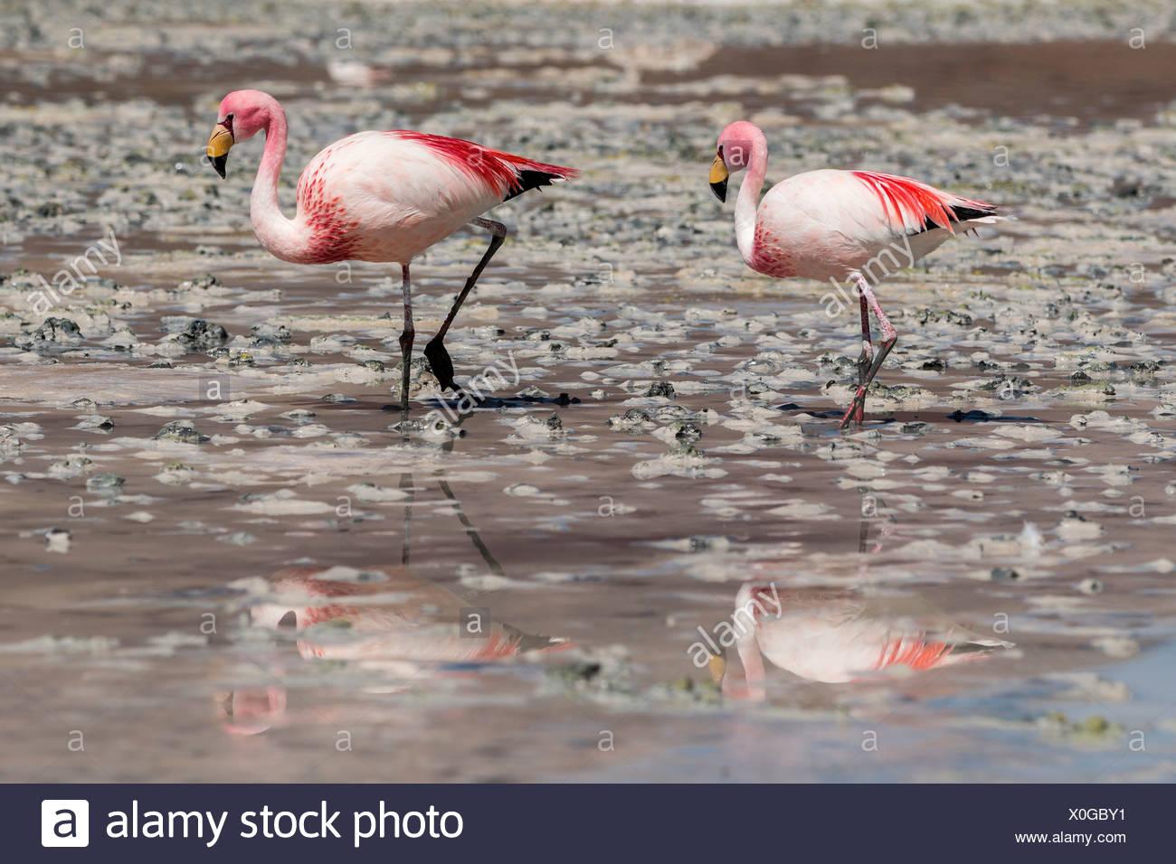 Andean flamingos (Phoenicoparrus andinus), Potosí Department, Bolivia - Stock Image