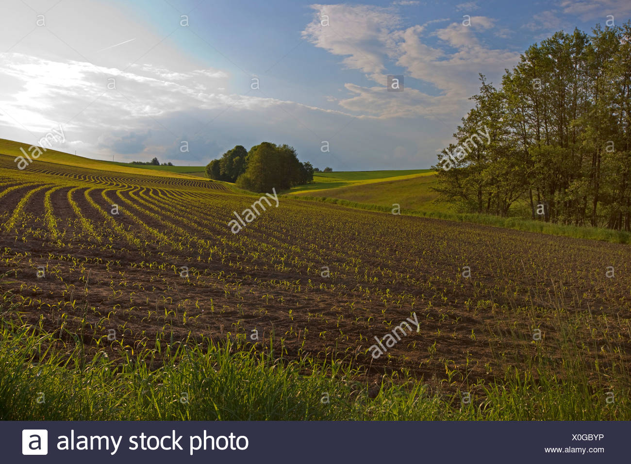 Indian corn, maize (Zea mays), field with seedlings, Germany, Bavaria - Stock Image