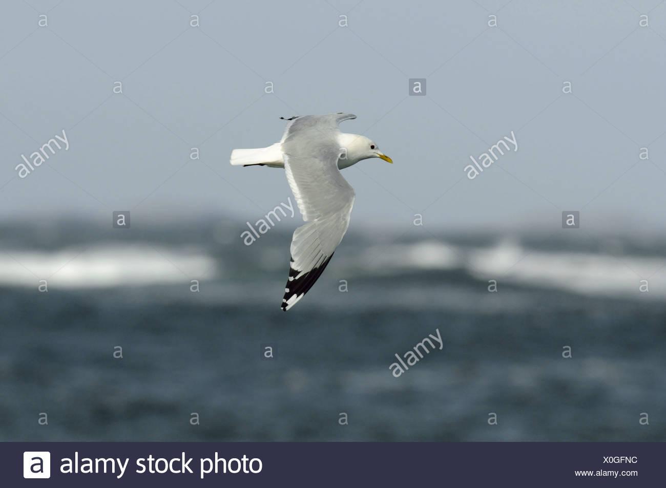 Common Gull Larus canus Stock Photo