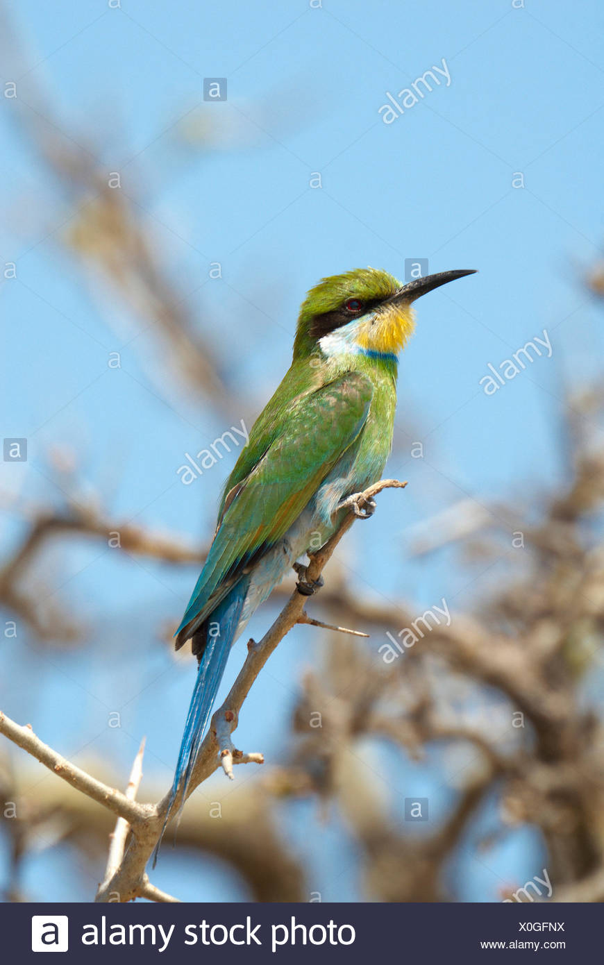 Africa, acacia, Etosha, honey eater, bird, Merops apiaster, Namibia, - Stock Image