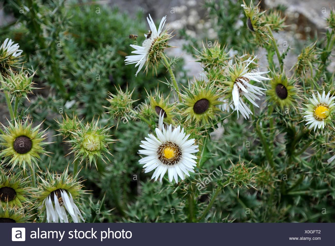 Berkheya cirsiifolia Stock Photo