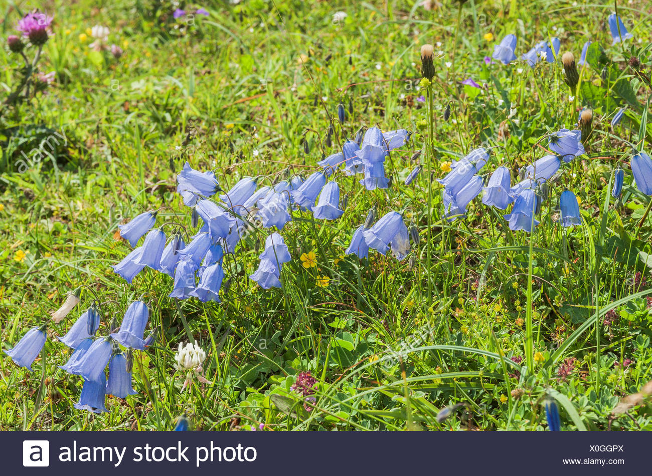 Fairies' thimbles (Campanula cochleariifolia), Mountain Meadow, Dolomites, Trentino-Alto Adige, Italy Stock Photo
