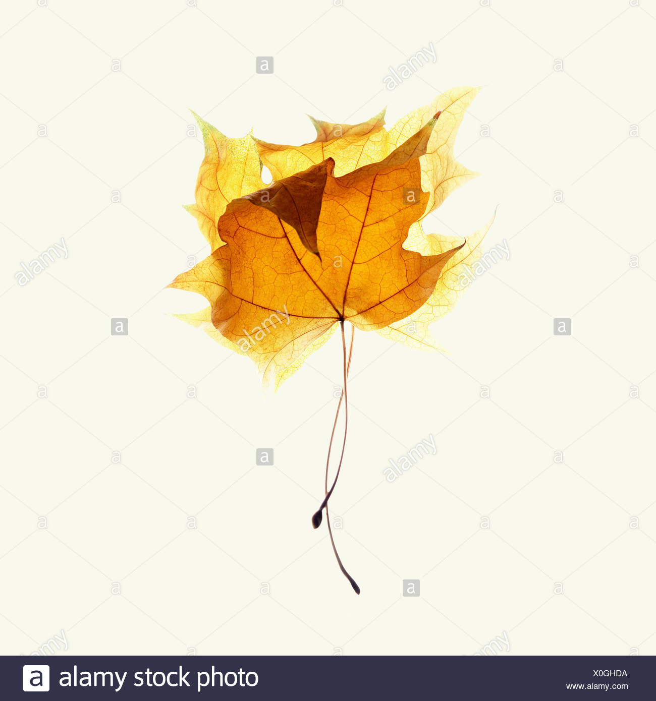 Two maple leaves on white background - Stock Image