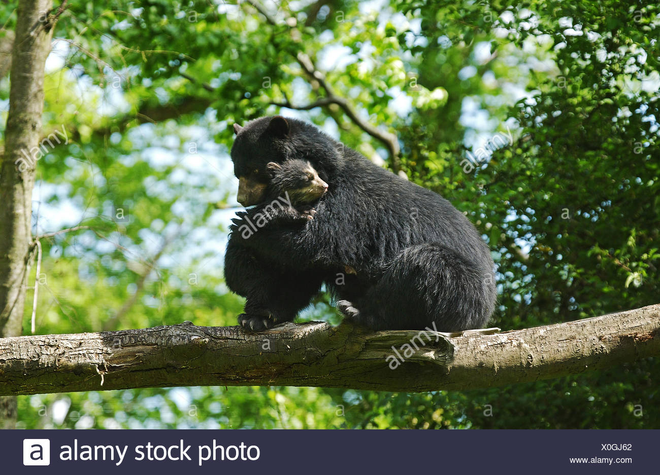 Spectacled Bear, tremarctos ornatus, Female with Young on Branch Stock Photo