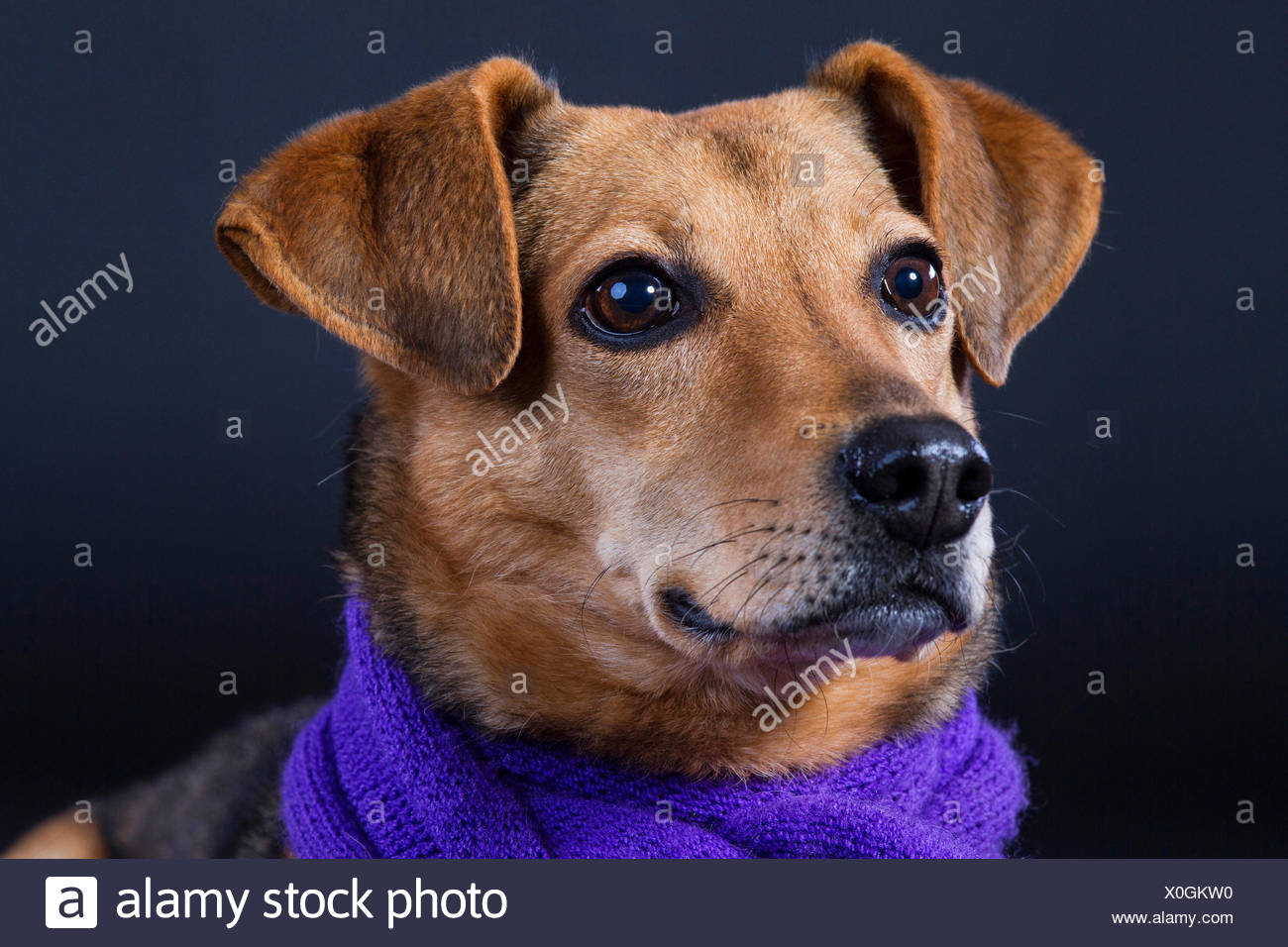 domestic dog (Canis lupus f. familiaris), with purple scarf in front of black background, portrait - Stock Image
