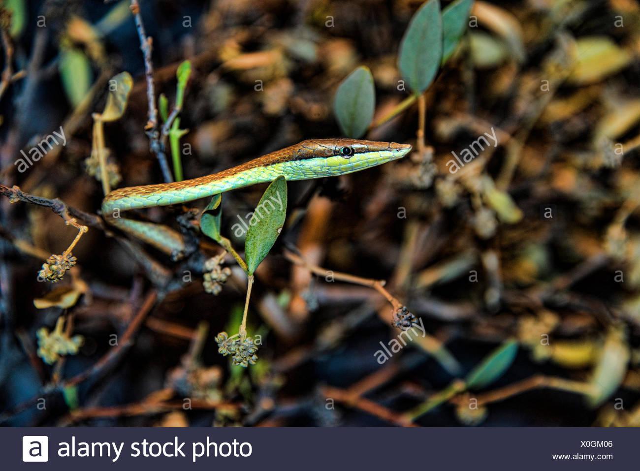brown vine snake, Oxybelis aeneus, snake, reptile, animal - Stock Image