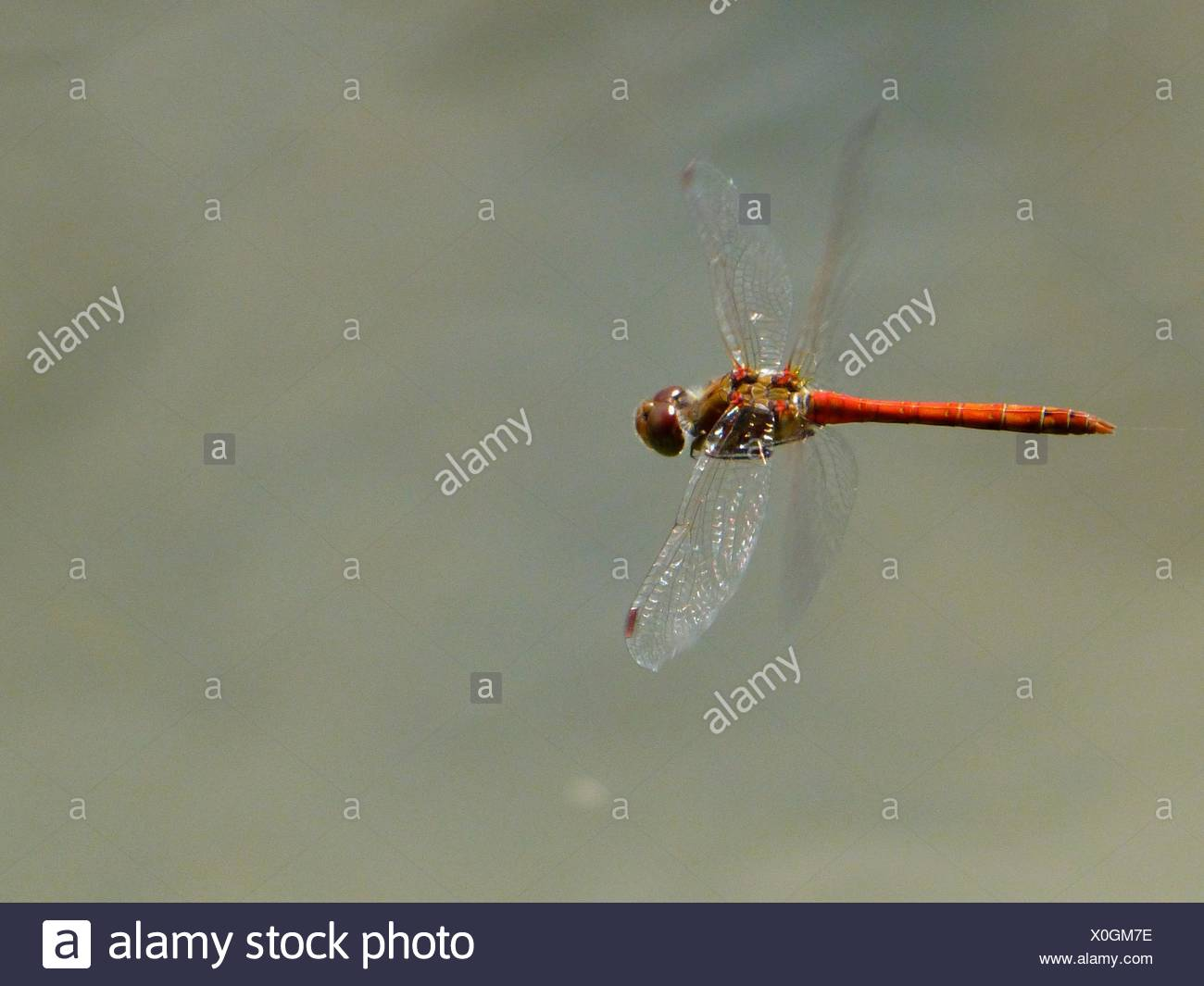 Close-Up Of Red Dragonfly Flying Over Lake Stock Photo