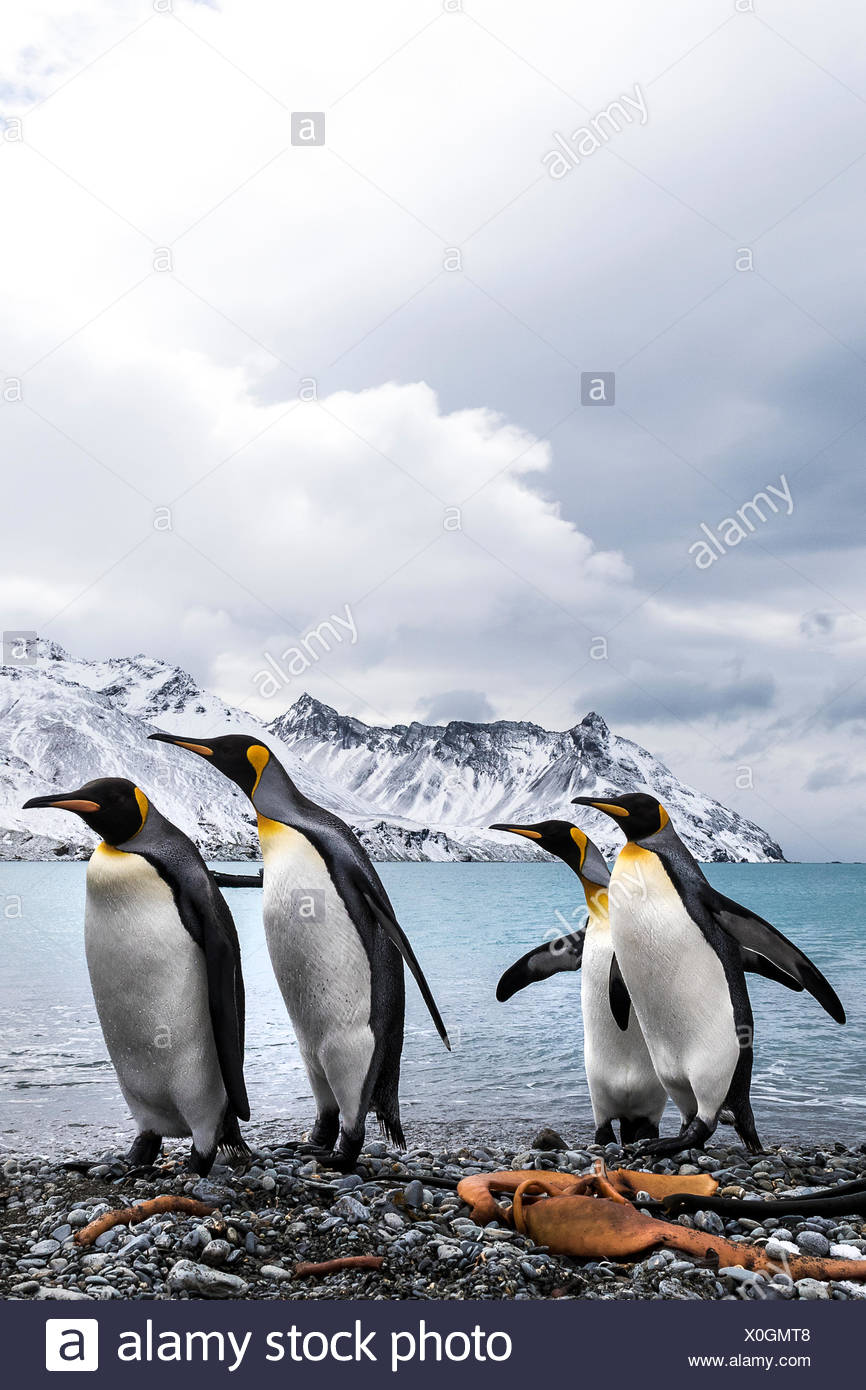 Four King penguins (Aptenodytes patagonicus) on a beach walking in a row - Stock Image
