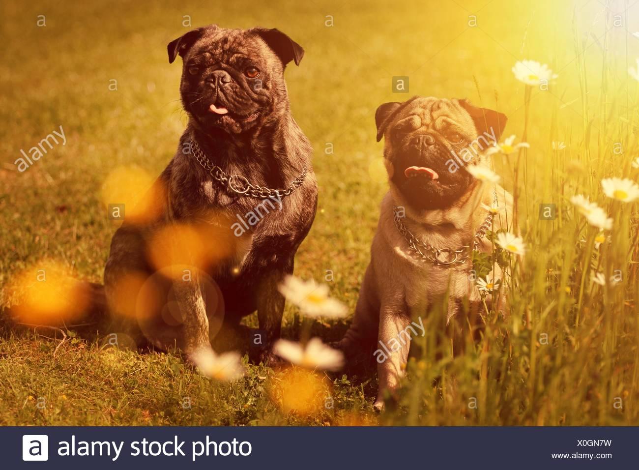 2 Pugs - Stock Image