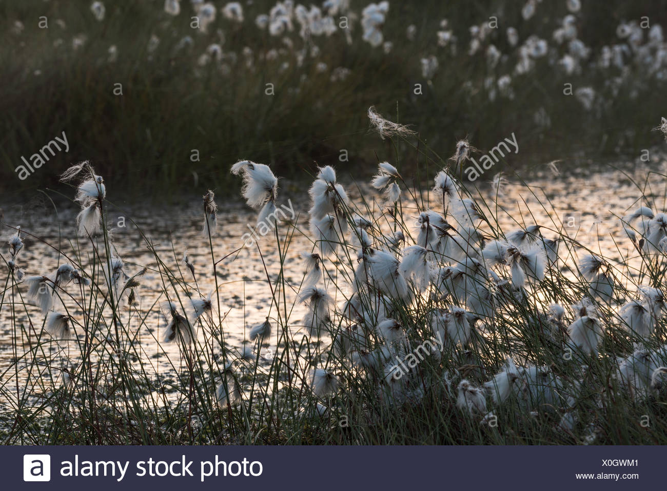 cottongrass - Stock Image