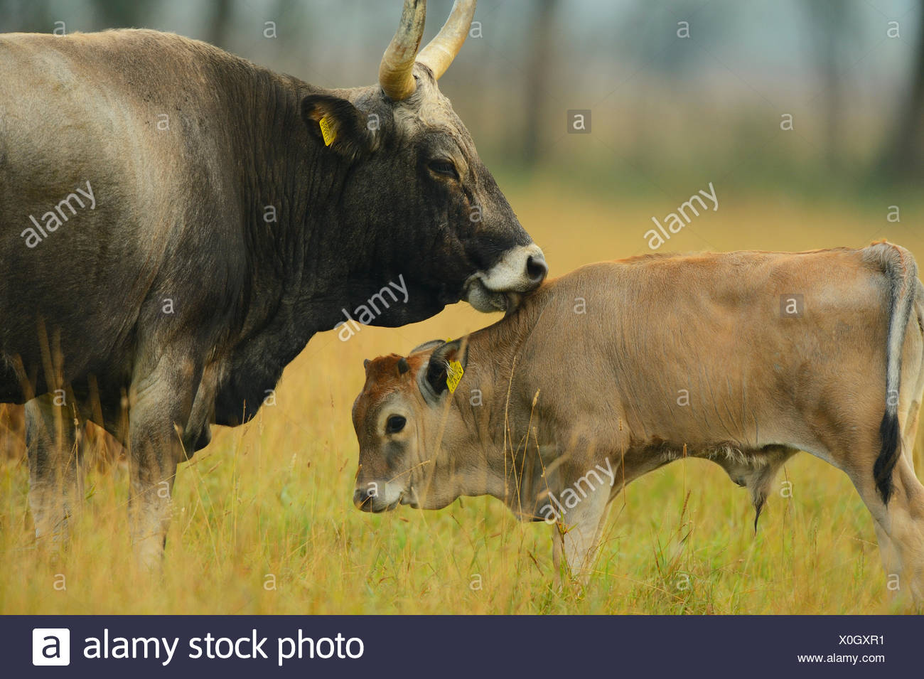 Maremmana primitive cow (Bos taurus) with crossbreed calf, Aurochs breeding site run by The Taurus Foundation, Keent Nature Reserve, The Netherlands. - Stock Image