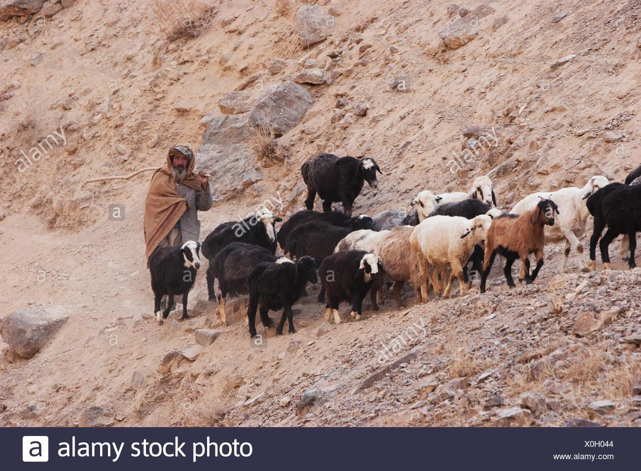shepherds pai