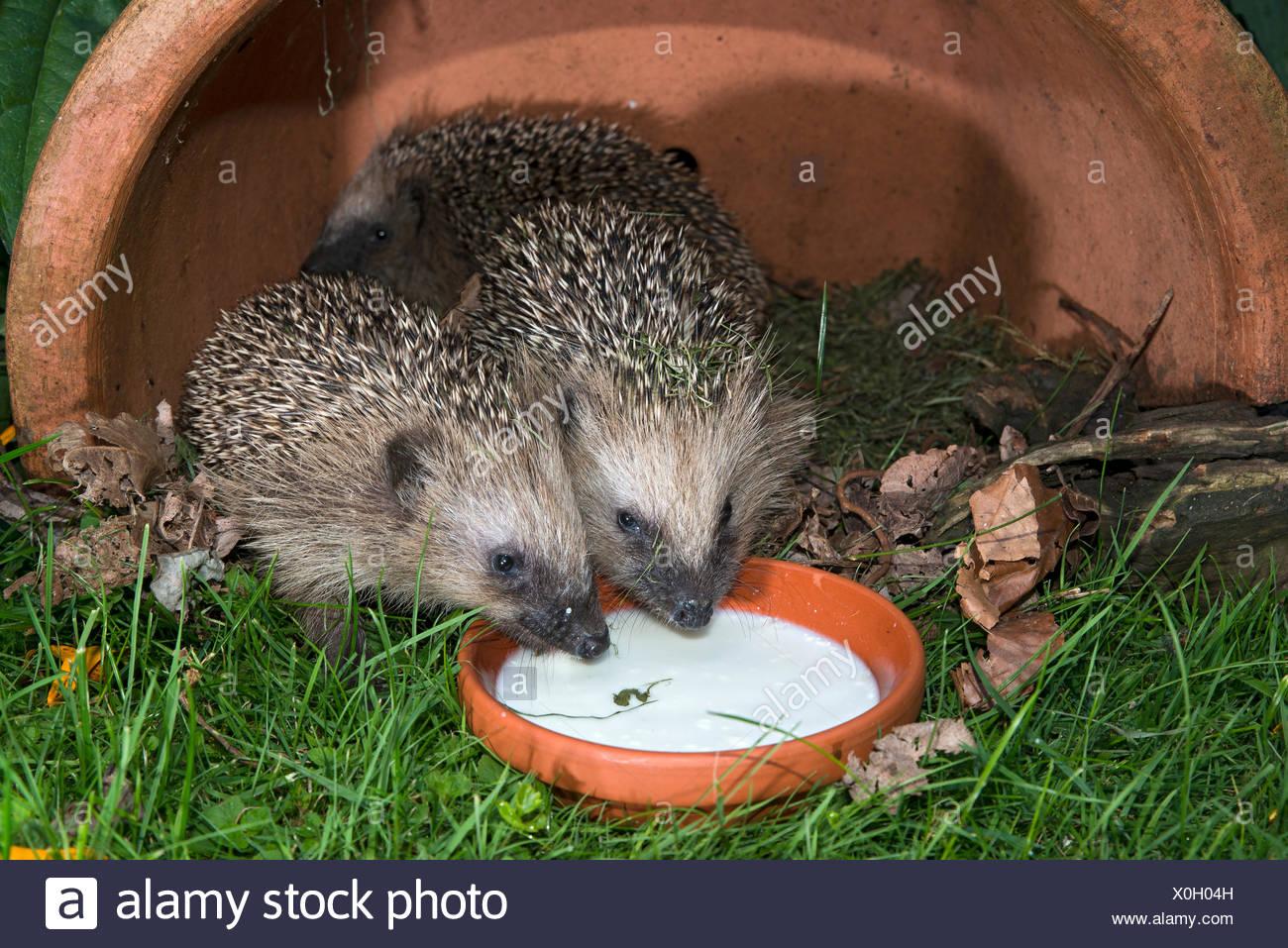 European hedgehogs (Erinaceus europaeus), Tyrol, Austria - Stock Image