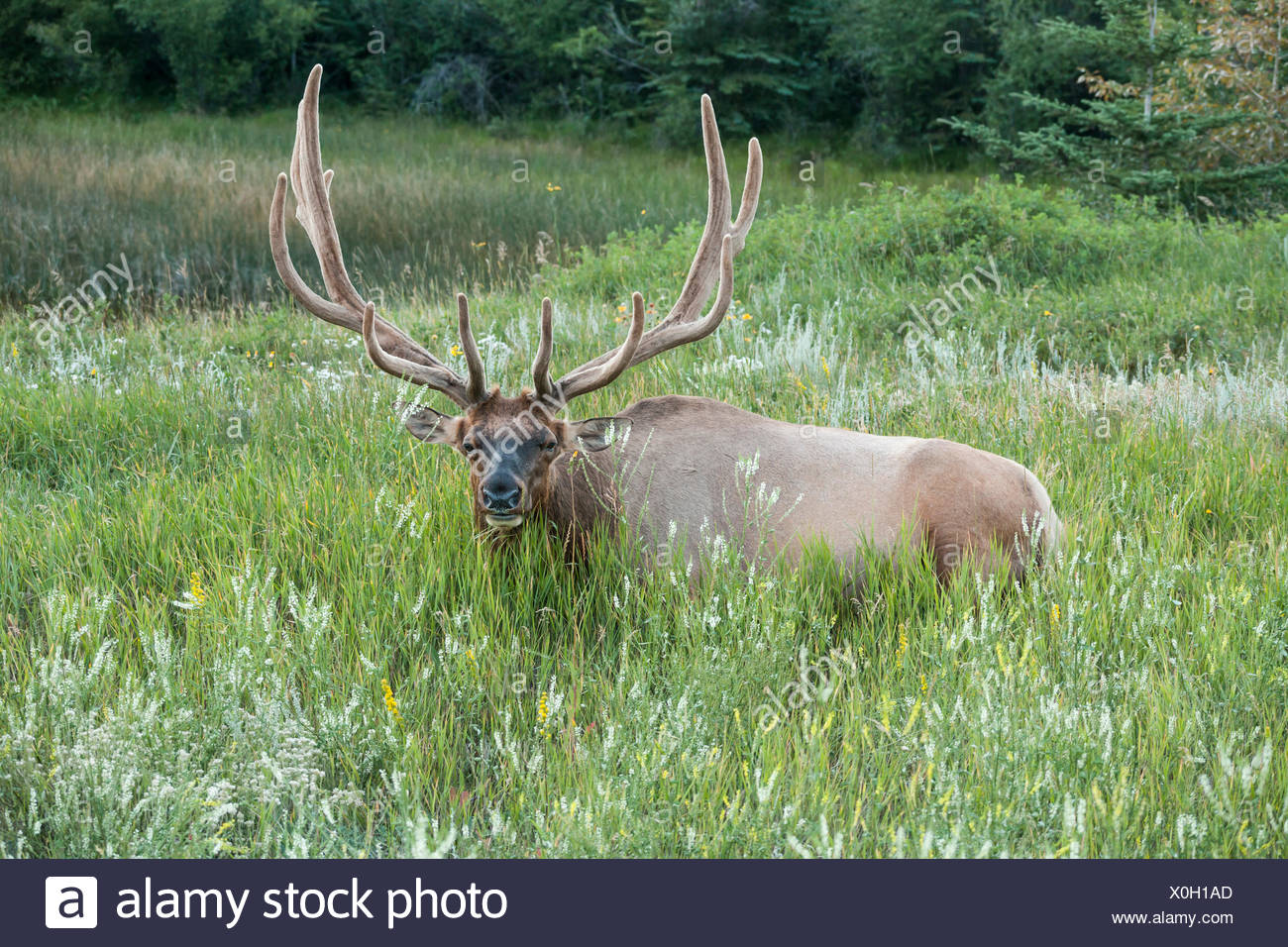 Wapiti bull is ruminating in the grass after sunset Stock Photo