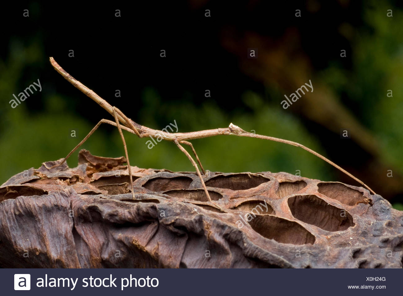 Giant Green Stick Bug (Tirachoidea biceps), on a fruit - Stock Image