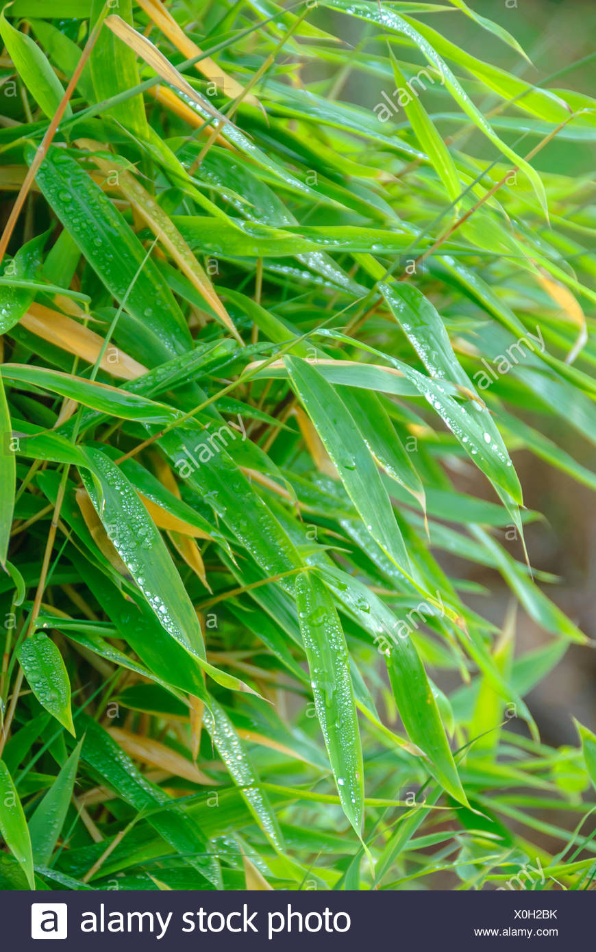 Muriels Bamboo (Fargesia murieliae 'Jumbo', Fargesia murieliae Jumbo), leaves in rain - Stock Image