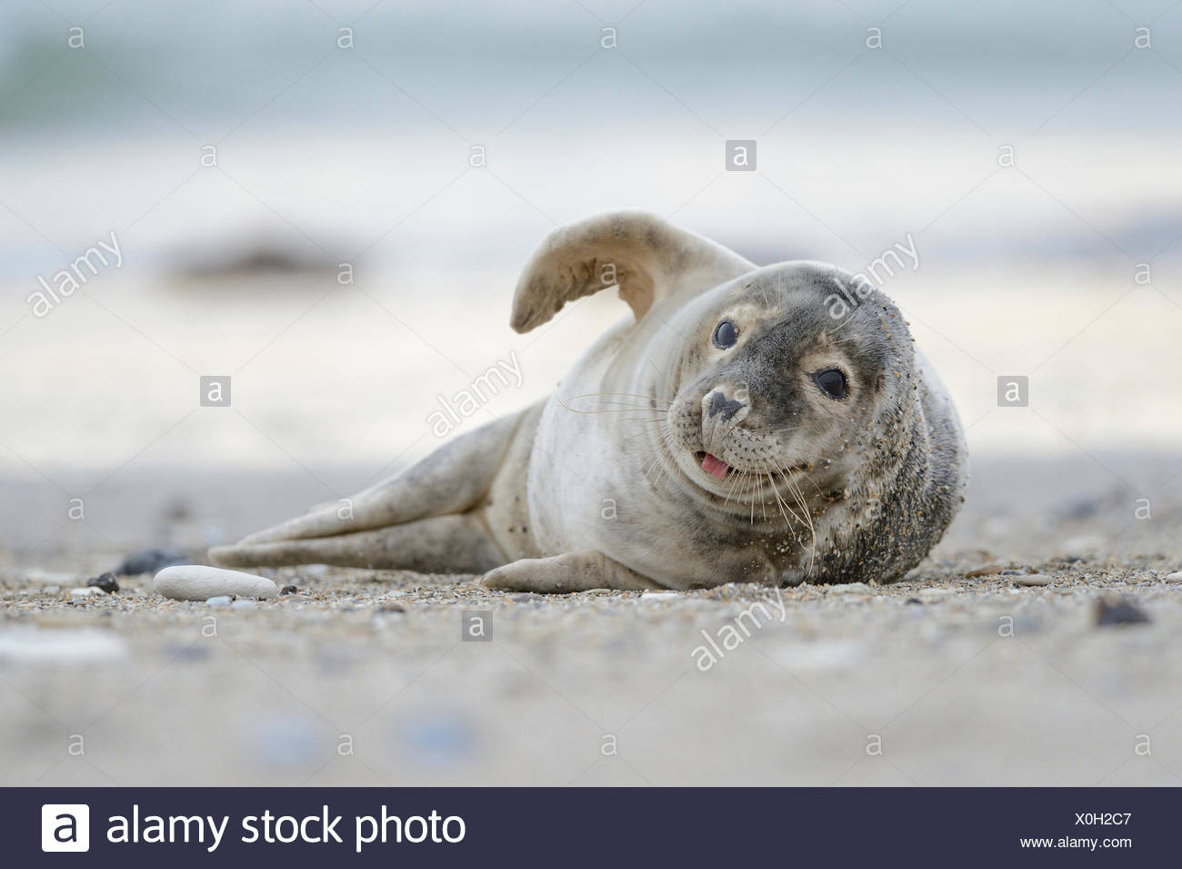 Grey Seal (Halichoerus grypus) sprawling on the beach and sticking out tongue, Helgoland, Helgoland, Schleswig-Holstein, Germany - Stock Image