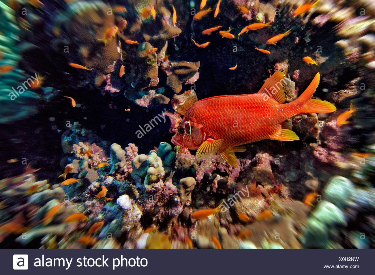 Middle East Egypt Red Sea, Basslets, Anthiinae and Long jawed Squirrelfish, Sargocentron spiniferum - Stock Image