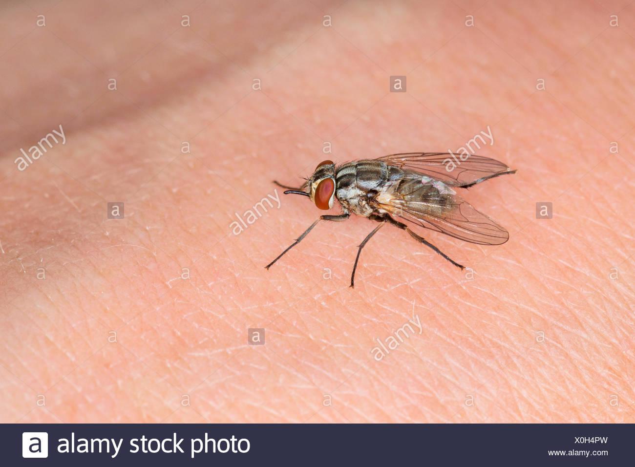 Biting Flies Stock Photos & Biting Flies Stock Images - Alamy
