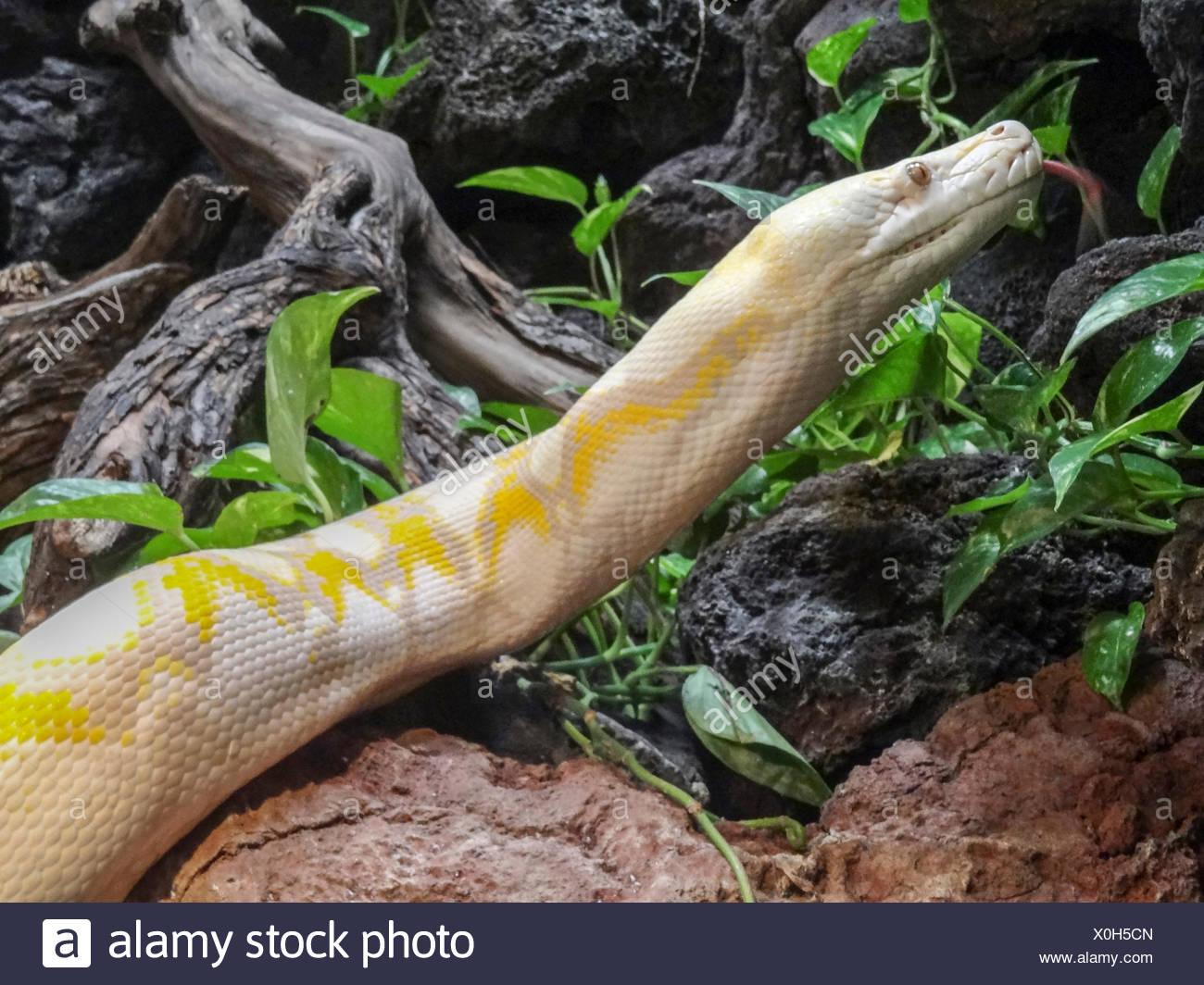 albino, carnivores, constricting, Dallas Zoo, non venomous, Python reticulatus, Reptile, Reticulated Python, Southeast Asia, Squa - Stock Image