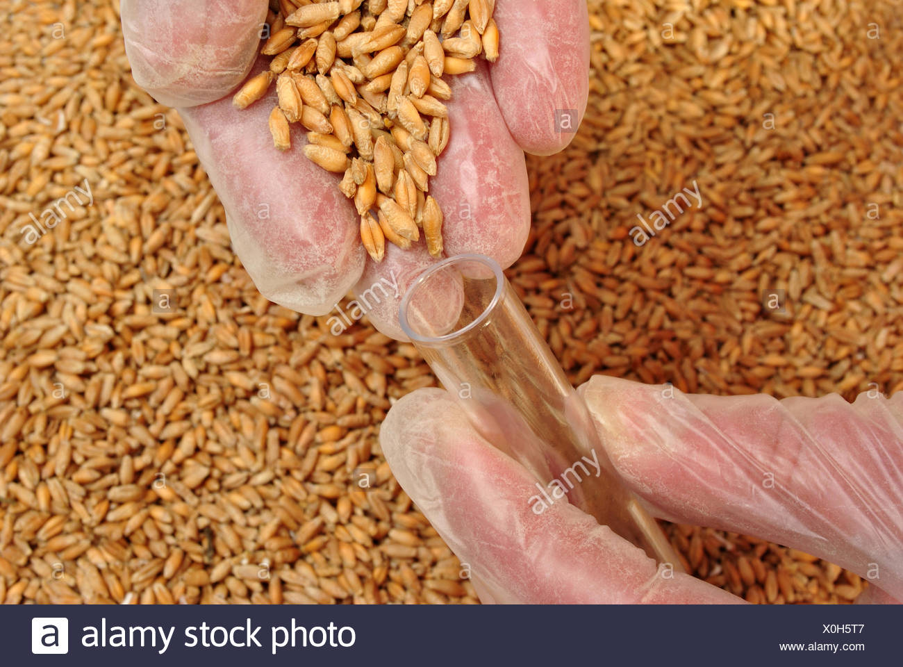 filling,cereal,triticale - Stock Image