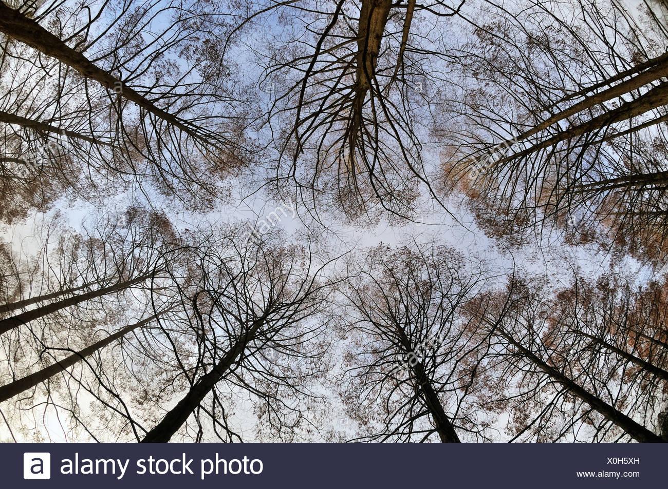 Dawn Redwoods (Metasequoia glyptostroboides) in winter, Germany, Europe - Stock Image
