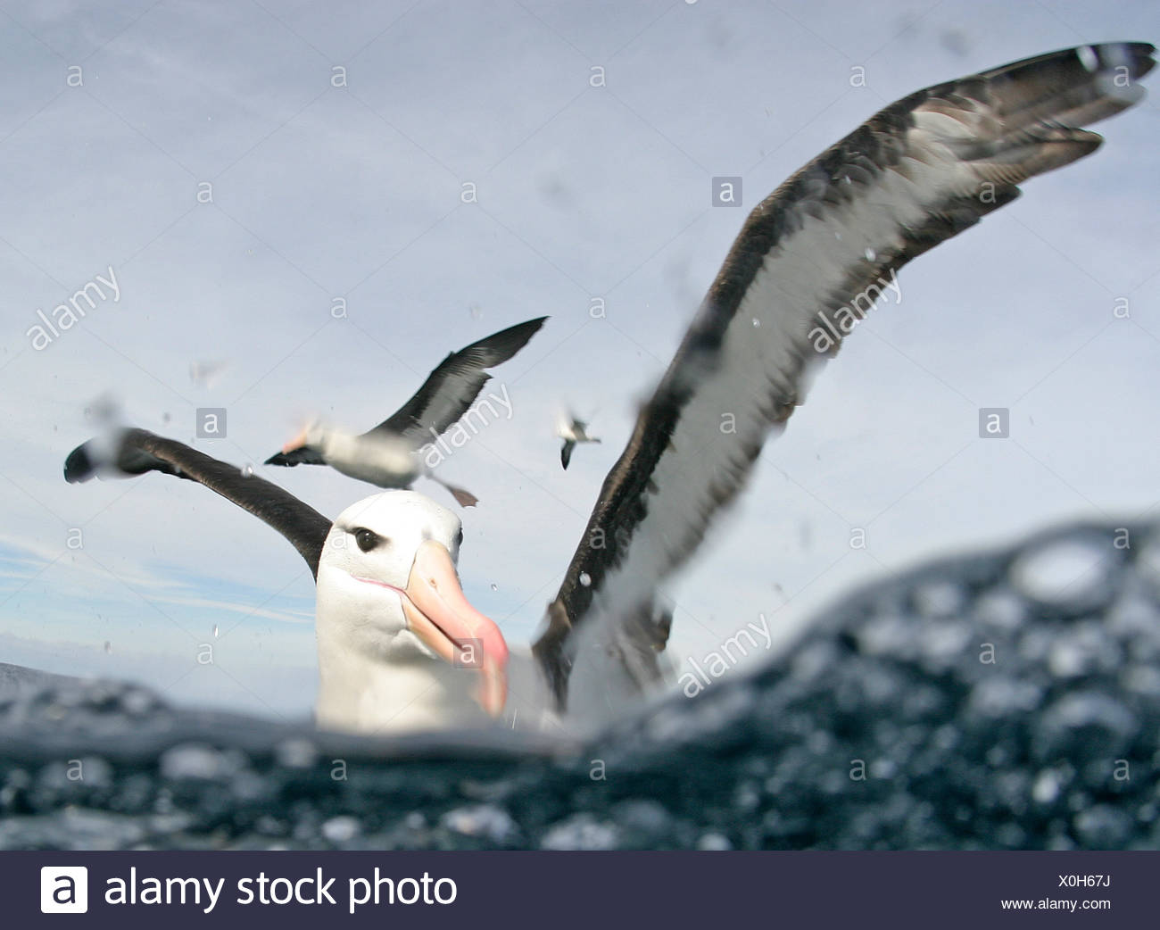 Black browed albatros (Thalassarche melanophrys), Cape Point, South Africa. - Stock Image