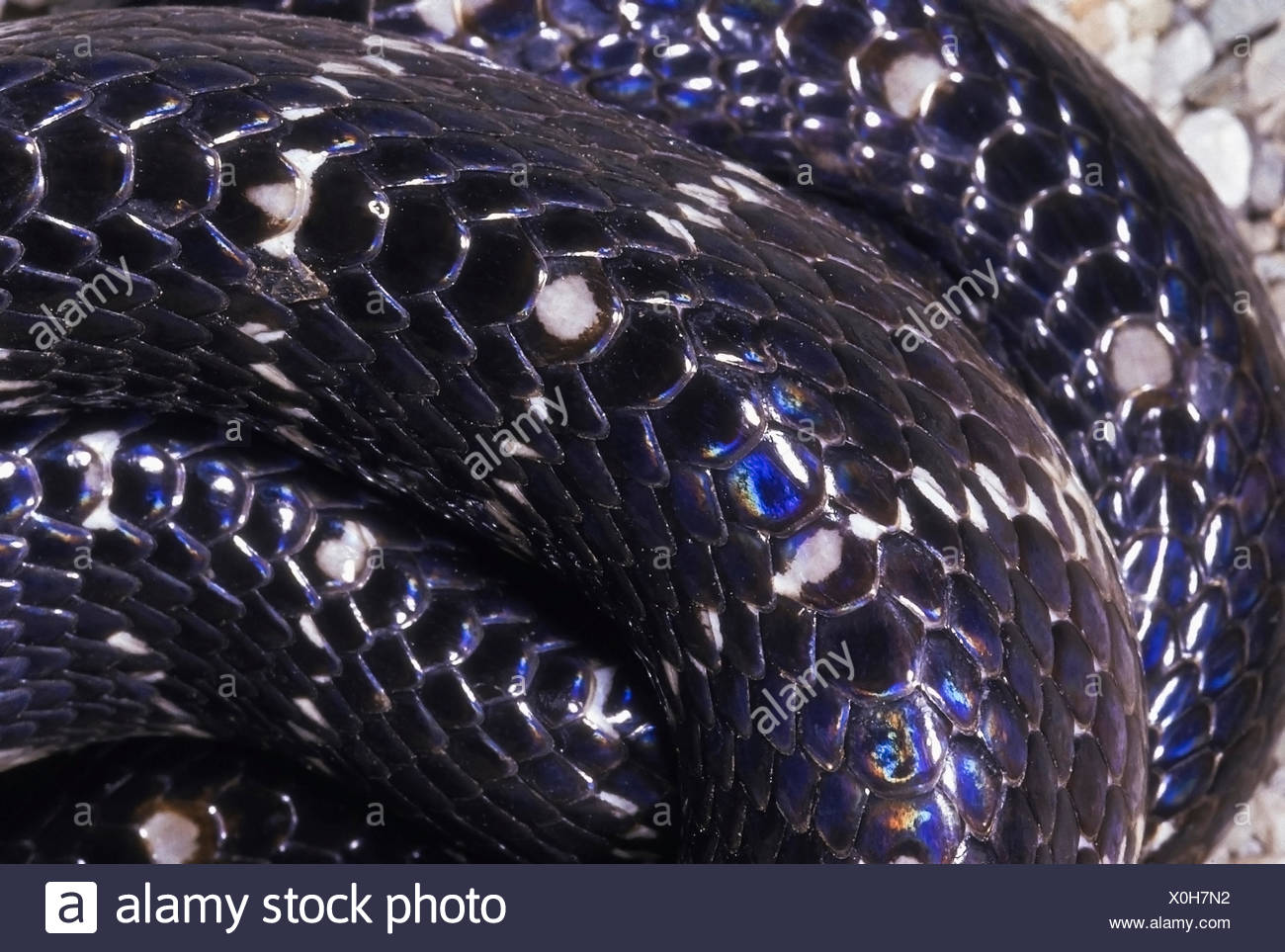 SCALE DETAIL KRAIT Bungarus species. Shows enlarged, hexagonal scales. Specimen from near Pune, Maharashtra, India. - Stock Image