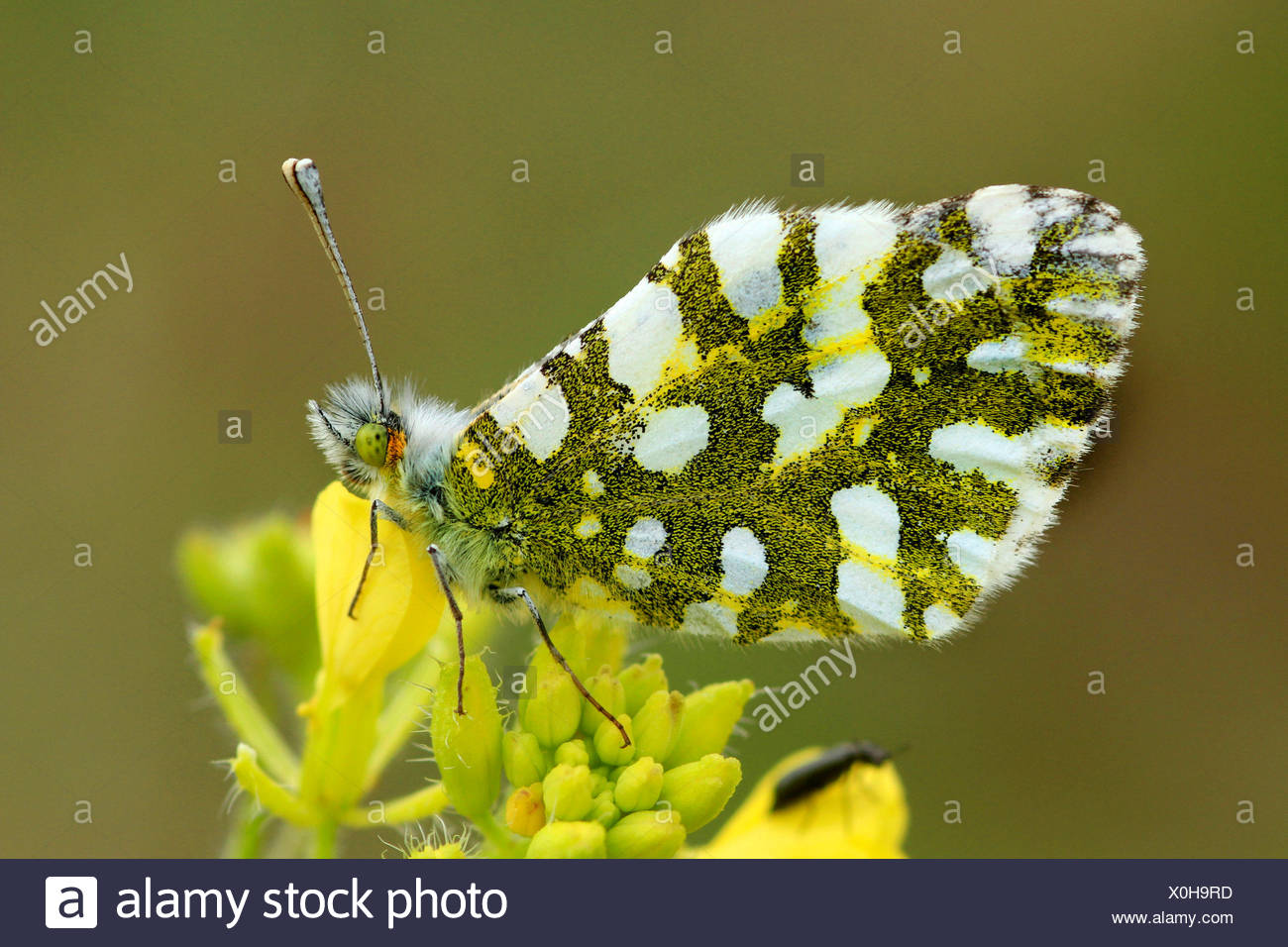 Eastern Dappled White (Euchloe ausonia crameri), sitting on yellow flowers, Italy, Sicilia Stock Photo