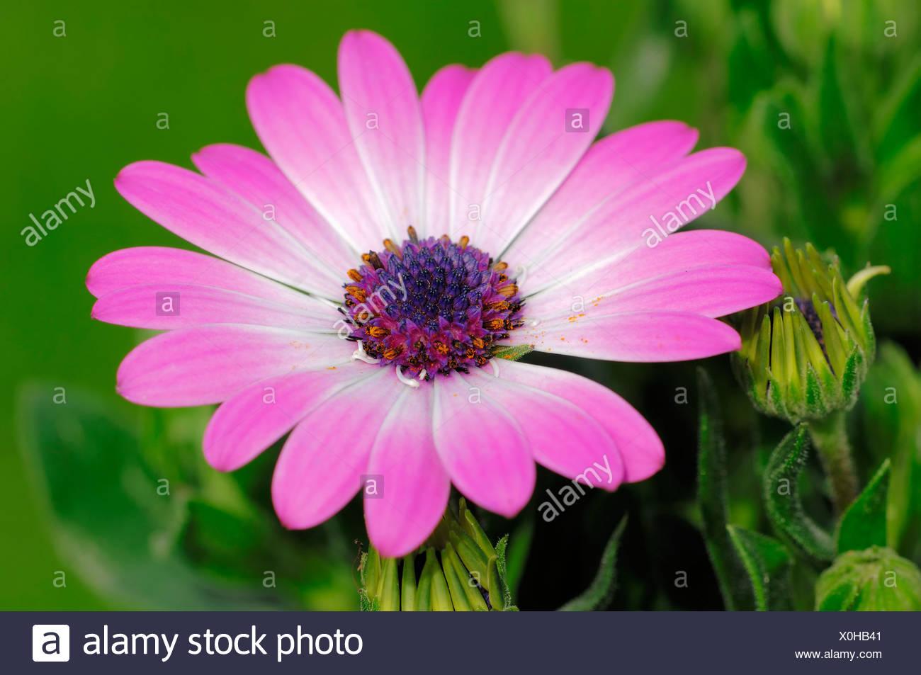 Cape marguerite, Van Staden's River daisy, Sundays River daisy, White daisy bush, Blue-and-white daisy bush, Star of the Veldt - Stock Image