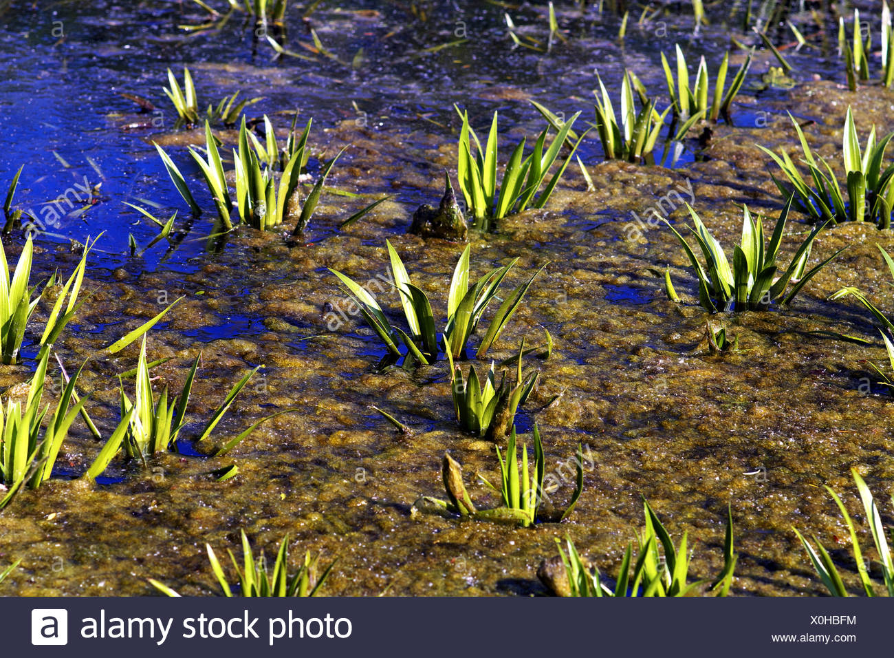 crab's-claw, water-soldier (Stratiotes aloides), on a pond, Germany Stock Photo