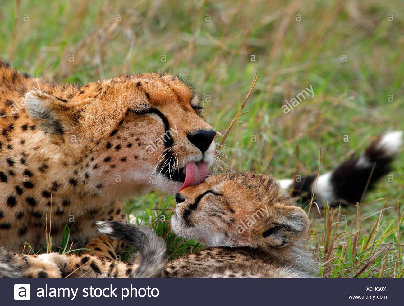 cheetah (Acinonyx jubatus), female licks cub, Kenya, Masai Mara National Park - Stock Image