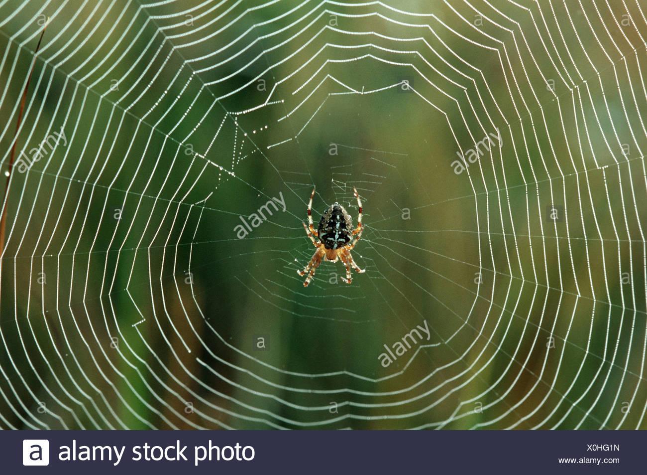 aranaidae / orbweaver - Stock Image