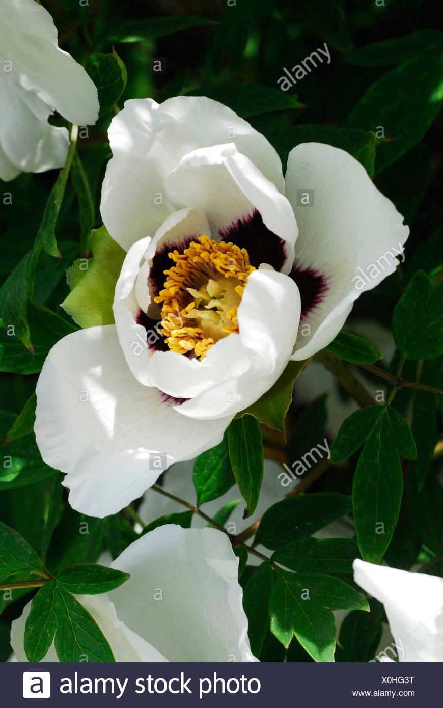 White Peony (Paeonia) Stock Photo