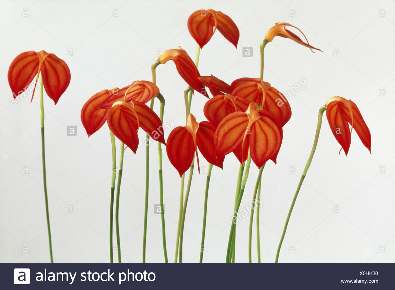 Orchid Masdevallia ignea a flower with red petals and straight stems Stock Photo