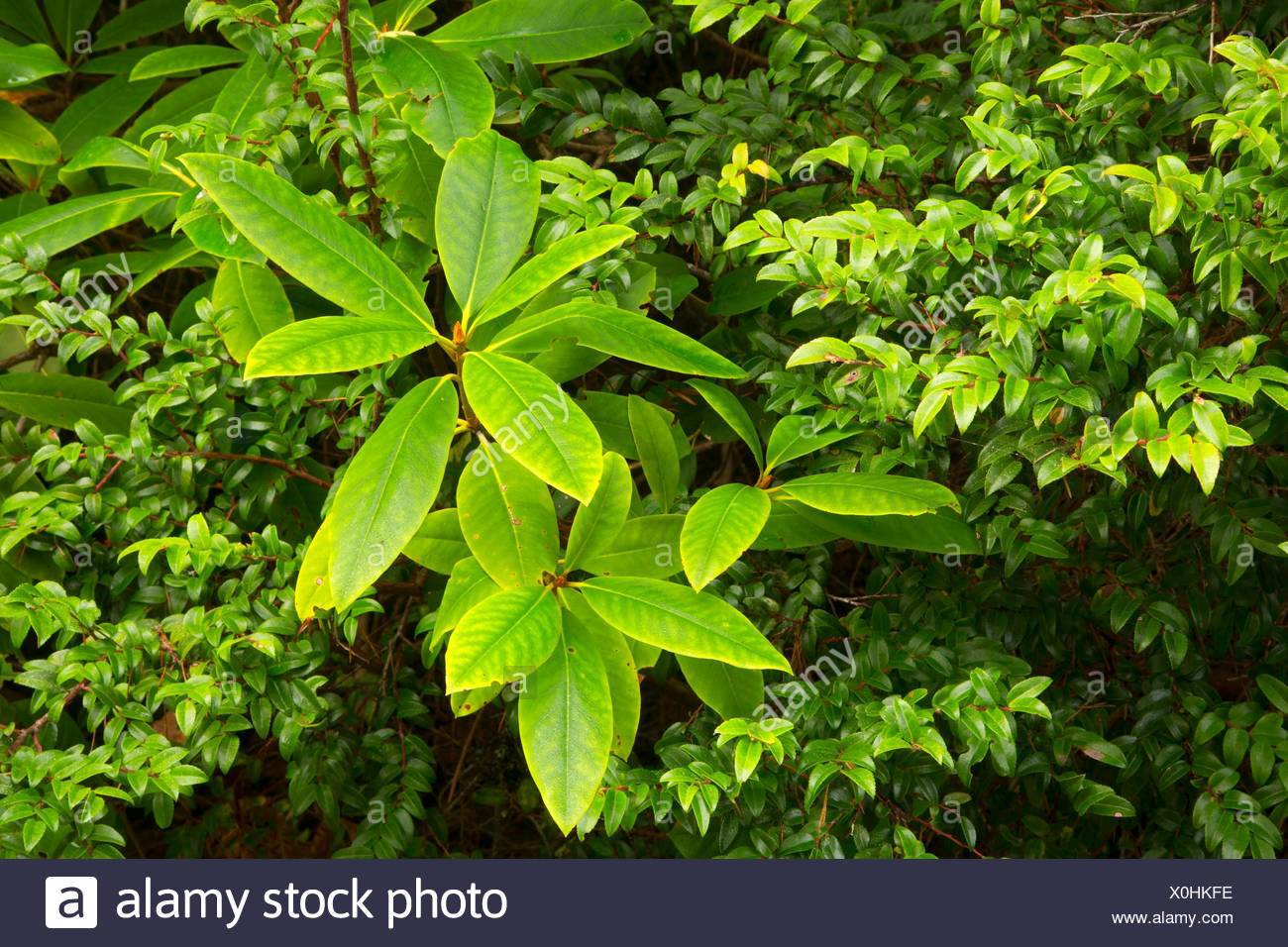 Pacific rhododendron with evergreen huckleberry (Vaccinium ovatum) along North Trail, New River Area of Critical Environmental Concern-Storm Ranch, - Stock Image